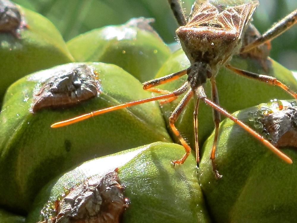 Leptoglosus occidentalis alimentándose sobre Pinus pinea. - PIÑONSOL